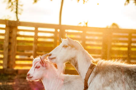 View on the goats on a summer day during the sunset in the backyard. Banque d'images - 167406742