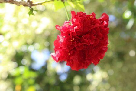 gules: red flower