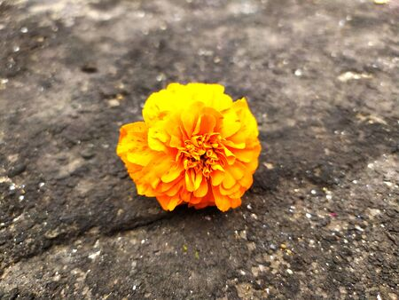 yellow color marigold flower put on the black road
