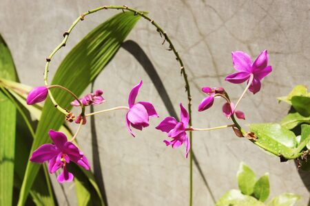 terrestre: Viola Terrestrial Orchid Flower
