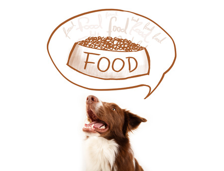 perro comiendo: Lindo color marrón y blanco collie de frontera pensando en un plato de comida en una burbuja de pensamiento por encima de su cabeza