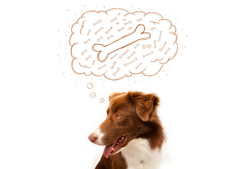 Cute brown and white border collie sitting and dreaming about a bone in a thought bubble photo