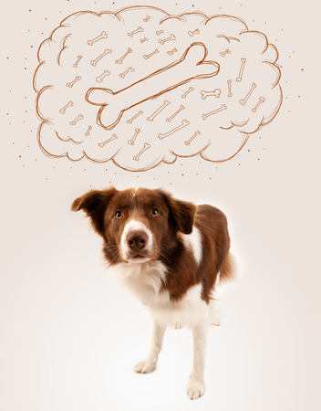 Cute brown and white border collie dreaming about a bone in a thought bubble photo
