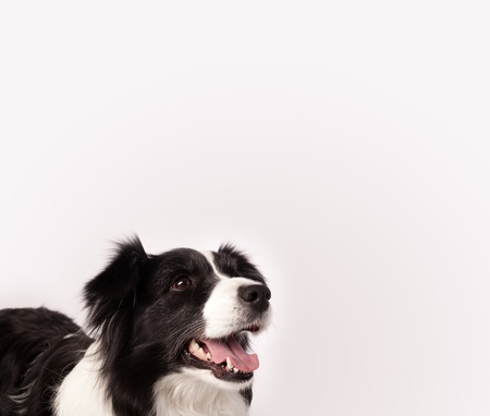 copyspace: Cute black and white border collie with empty space Stock Photo