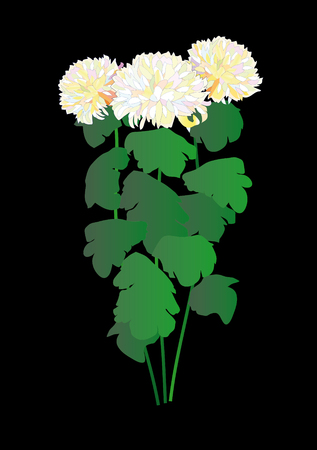 Three chrysanthemums on a black background. Vector