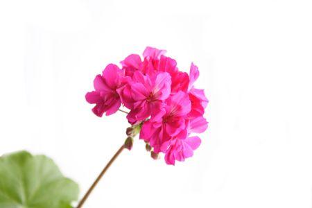 Blume Pflanzen Geranien.
