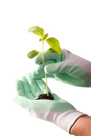 transplanted: Hands in garden gloves transplanted green plant. White background Stock Photo