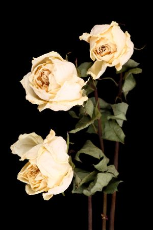 sapless: Three withered white roses on a black background Stock Photo
