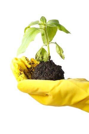 transplanted: Hand in a yellow glove transplanted green plant. White background