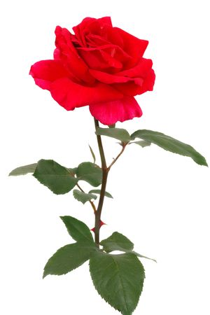 no image: A single Red rose isolated on a white background