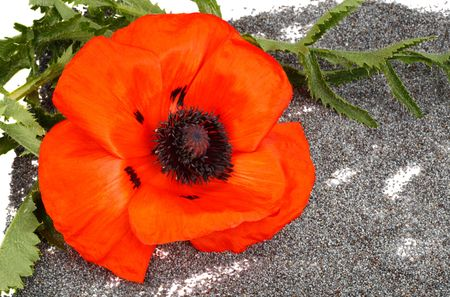 Flower and the poppy seeds isolated on a white background. No Drugs. photo