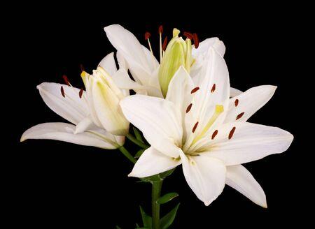 Close up blanco Lilies(Lilium longiflorum) de Pascua aislado contra un fondo negro  Foto de archivo