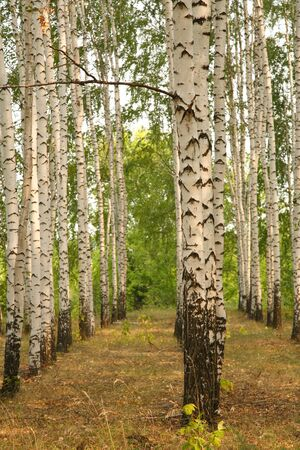 birchwood: Birch grove. Natural background - a summer birchwood Stock Photo