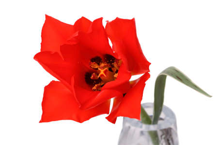 Red tulip in a vase isolated on white background. Series of different tulips photo