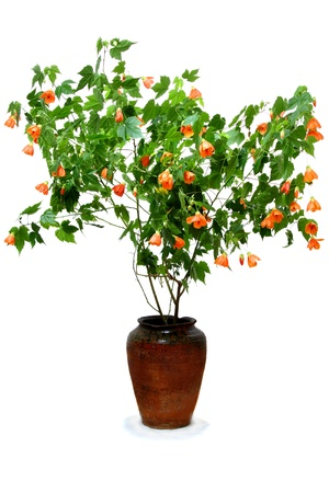 malvaceae: Abutilon belongs to the family Malvaceae. Homemade maple called him over the form of leaves, something reminiscent of maple.