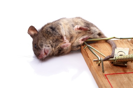 The trap has worked - dead mouse in a mousetrap  photo