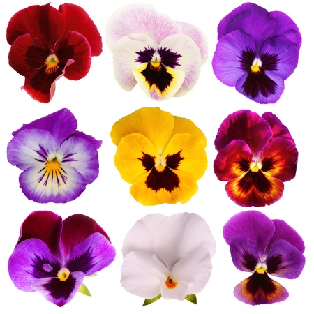 Nine different Pansies isolated on a white background photo