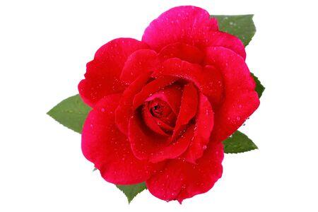 Una ?nica rosa roja aislada en un fondo blanco