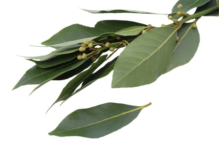 bay leaf: Fresh bay leaf and branch isolated on white background Stock Photo