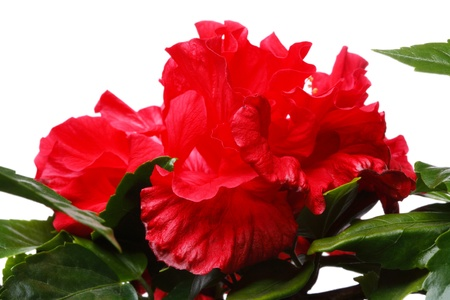 china rose: China rose (Hibiscus) flower room isolated on a white background