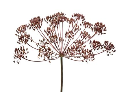 dill seed: Ripe seed heads of dill. White background. Stock Photo