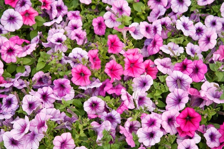solanaceae: Petunia - perennial herb of the family Solanaceae. Flower background