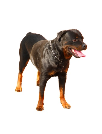sustained: Rottweiler - a service dog breed group molosser. It has sustained a strong character.