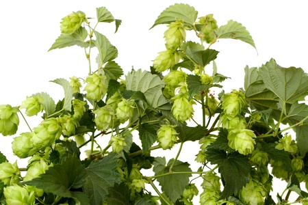 Branch hops isolated on a white background photo