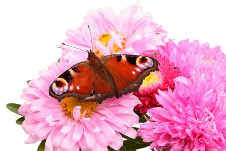 nymphalis: Butterfly Nymphalis on a flower isolated on white flower
