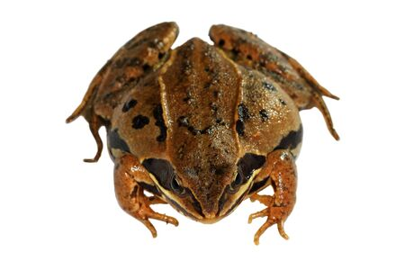 Frogling Frog Stock Photos. Royalty Free Frogling Frog Images