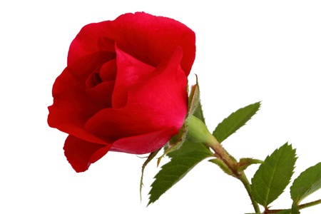 Red rose isolated on white background Stock Photo