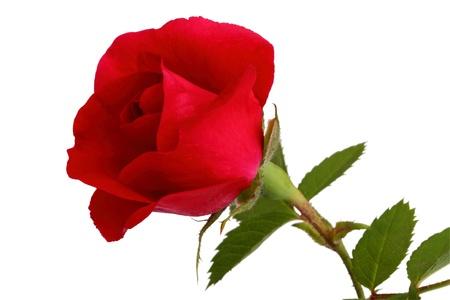 Rosa roja sobre fondo blanco Foto de archivo
