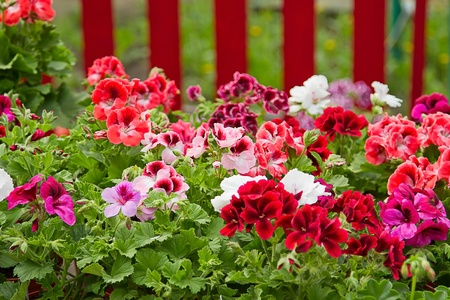 solanaceae: Petunia (Petunia) - perennial herb of the family Solanaceae. Flower background
