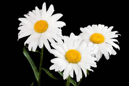 daisy flower: Three large daisy isolated on a black background Stock Photo