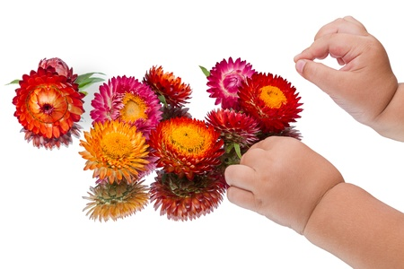 constitute: Hands of the child constitute the composition of the colored strawflower  Isolated on white background