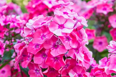 translated: Phlox - genus of flowering herbaceous plants of the family Sinyuhovye (Polemoniaceae). Translated from the Greek for