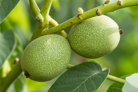 Green walnuts in the tree. Nature background photo