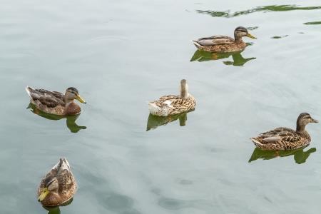 Group of wild ducks in open water photo