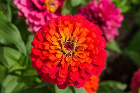 Zinnia, or tsiniya (Latin Zínnia) - genus of annual and perennial herbs and subshrubs of the family Asteraceae.