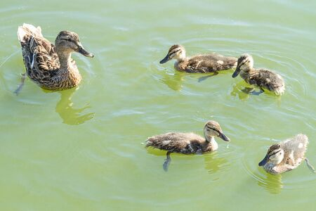 webbed foot: Duck with young ducklings in open water Stock Photo