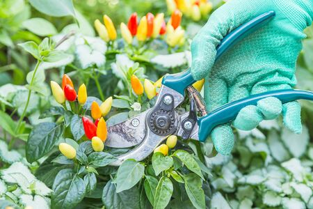 pruning shears: Hand in green gloves with pruning shears and chili pepper