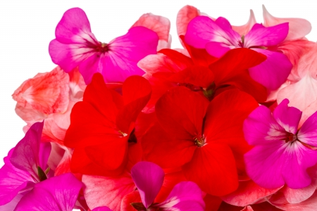 Three-colored flowers geranium isolated on white background