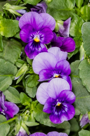 Flowers Purple pansies  Nature Backgrounds  photo