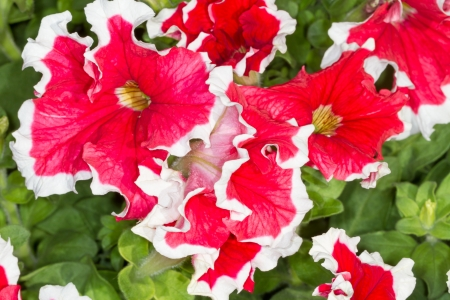 solanaceae: Petunia  Petunia  - perennial herb of the family Solanaceae  Flower background