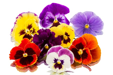 Different Pansies isolated on a white background photo
