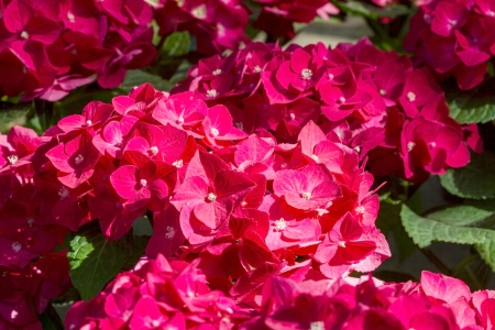 Phlox - genus of flowering herbaceous plants of the family Sinyuhovye (Polemoniaceae). Translated from the Greek for flame.