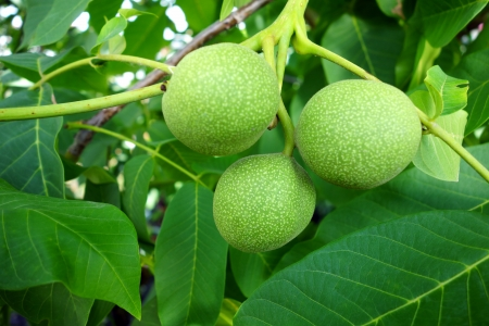 chandler: Green walnuts in the tree. Nature background