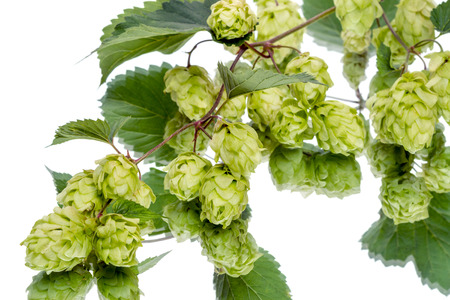 humulus: Branch of hops with reflection isolated on a white background