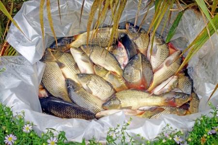 fish rearing:  Fishing farm.  Carp has tasty dietary meat.