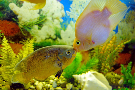 astronotus: Kiss Astronotus and red parrot (cichlid) in an aquarium Stock Photo